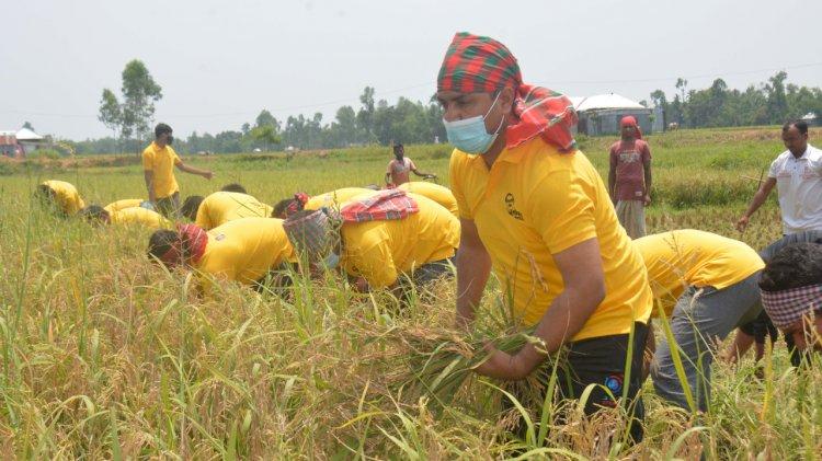 কৃষকের ধান কেটে দিল রংপুর জেলা ছাত্রলীগ